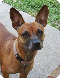 Chihuahua/Terrier (Unknown Type, Small) Mix Dog for adoption in Ormond Beach, Florida - Missy