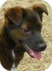 Australian Kelpie/Retriever (Unknown Type) Mix Dog for adoption in Lincolnton, North Carolina - Jonas