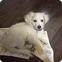Adopt A Pet :: Coby - Tustin, CA