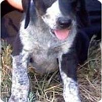 Adopt A Pet :: Porshe - Allentown, PA