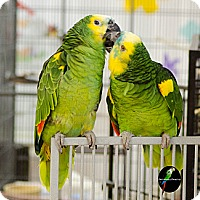 Adopt A Pet :: Pablo - Villa Park, IL