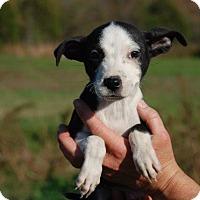Adopt A Pet :: Mork - Derry, NH