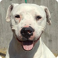 American Bulldog Dog for adoption in Kansas City, Missouri - Gunnar