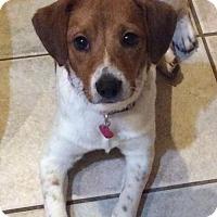 Adopt A Pet :: Izzy B - Dallas, TX