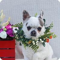Adopt A Pet :: Porkie - Loomis, CA