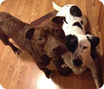 Pit Bull Terrier/Labrador Retriever Mix Dog for adoption in Wood Dale, Illinois - Gretel