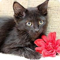 Adopt A Pet :: Batzy - Midland, MI