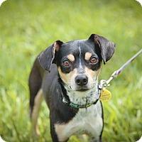 Adopt A Pet :: HANDSOME Boy Toy - Davie, FL