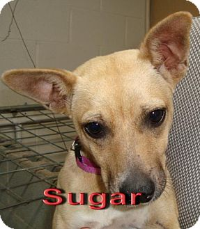 Chihuahua Dog for adoption in Coleman, Texas - Sugar