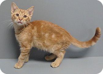 Domestic Shorthair Cat for adoption in Seguin, Texas - Spirit