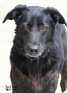 Shepherd (Unknown Type)/Labrador Retriever Mix Dog for adoption in Yukon, Oklahoma - Evee