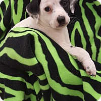 Spaniel (Unknown Type)/Border Collie Mix Puppy for adoption in Orland Park, Illinois - AM4