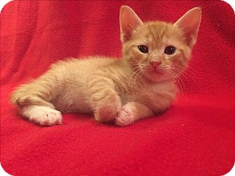 Domestic Shorthair Kitten for adoption in Island Park, New York - Neveah