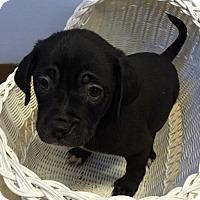 Adopt A Pet :: Levi - Aurora, CO