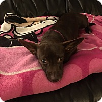 Adopt A Pet :: Brownie - Salisbury, NC