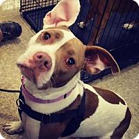 Adopt A Pet :: Callie - Livonia, MI