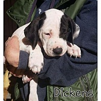 Adopt A Pet :: Dickens in New England - Ascutney, VT
