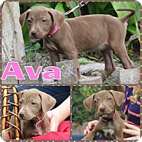 Adopt A Pet :: Ava - Valley Stream, NY