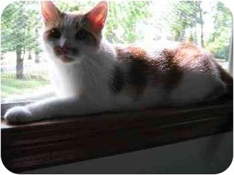 Domestic Shorthair Cat for adoption in Whitehall, Pennsylvania - Casandra