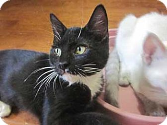 Domestic Shorthair Kitten for adoption in Davis, California - Hilari