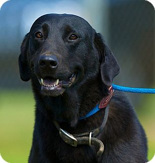 Labrador Retriever Mix Dog for adoption in Providence, Rhode Island - Jameson