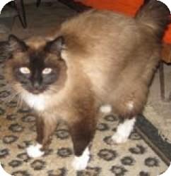 Ragdoll Cat for adoption in Ennis, Texas - Max