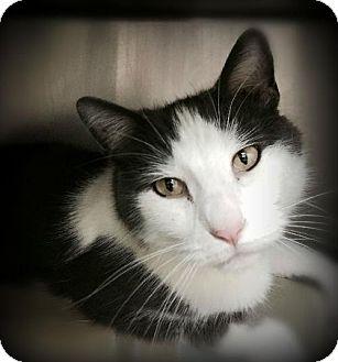 Domestic Mediumhair Cat for adoption in Pekin, Illinois - Malone