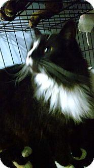 Domestic Longhair Cat for adoption in Centralia, Washington - Princess