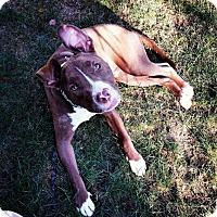 Adopt A Pet :: Scrapple - Southampton, PA