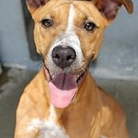 Staffordshire Bull Terrier Dog for adoption in Memphis, Tennessee - Meesha