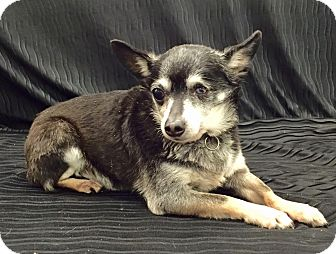 Chihuahua Mix Dog for adoption in Encino, California - Tobi