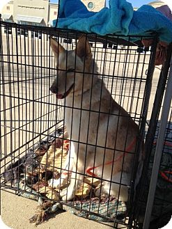 German Shepherd Dog Mix Dog for adoption in Fort Worth, Texas - Sierra