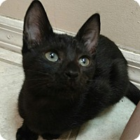 Domestic Shorthair Kitten for adoption in Tampa, Florida - Khloe