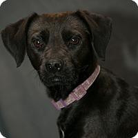 Adopt A Pet :: Onxy - Inglewood, CA