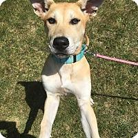 Adopt A Pet :: Ronda-Pending! - Detroit, MI