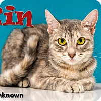 Domestic Shorthair Cat for adoption in Chandler, Arizona - Kin