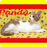 Domestic Shorthair Cat for adoption in Tracy, California - panda