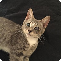 Adopt A Pet :: .Stormy - Baltimore, MD