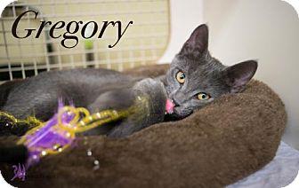 Domestic Shorthair Kitten for adoption in Richardson, Texas - Gregory-13448