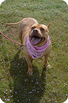 American Staffordshire Terrier Mix Dog for adoption in Aurora, Colorado - Kali