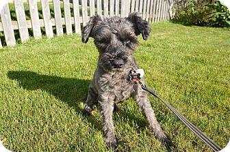 Miniature Schnauzer Dog for adoption in Round Lake Beach, Illinois - Lucky