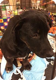 Dachshund/Hound (Unknown Type) Mix Puppy for adoption in Warrenton, Missouri - Dakota