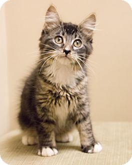 Maine Coon Kitten for adoption in Chicago, Illinois - Meowington