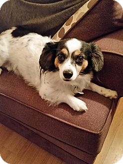 Papillon/Dachshund Mix Dog for adoption in Ottawa, Ontario - Paco