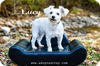 Maltese Mix Dog for adoption in Newport, Kentucky - Little Lucy
