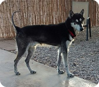 Siberian Husky Dog for adoption in Cedar Crest, New Mexico - Tommy