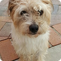 Maltese/Poodle (Miniature) Mix Dog for adoption in Thousand Oaks, California - Max