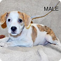 Adopt A Pet :: Avail12/9 Pen7 DachshundX 13wks 2Males Clic4Pics! - Sterling, MA