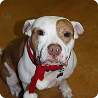 American Bulldog Mix Dog for adoption in Tallahassee, Florida - Herbert