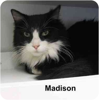 Maine Coon Cat for adoption in AUSTIN, Texas - Madison
